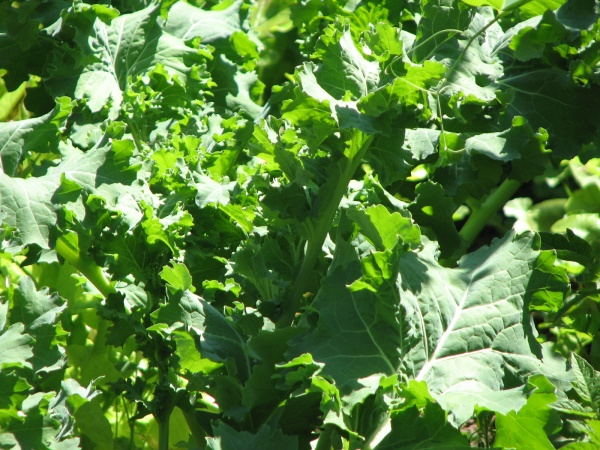 Kale in Garden